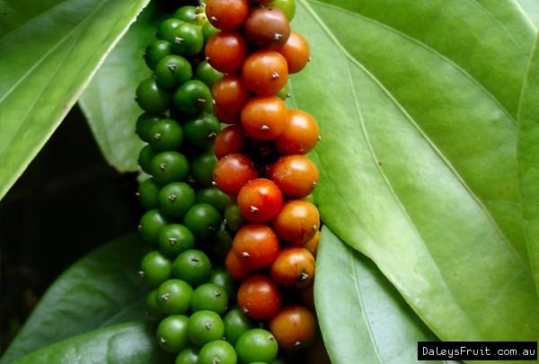 obat gusi bengkak dengan buah gambir
